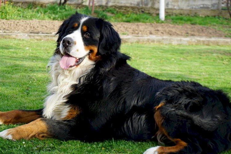 Издирва се кучето Рико - гр. София, Витоша, около Симеоновски езера и Драгалевци
